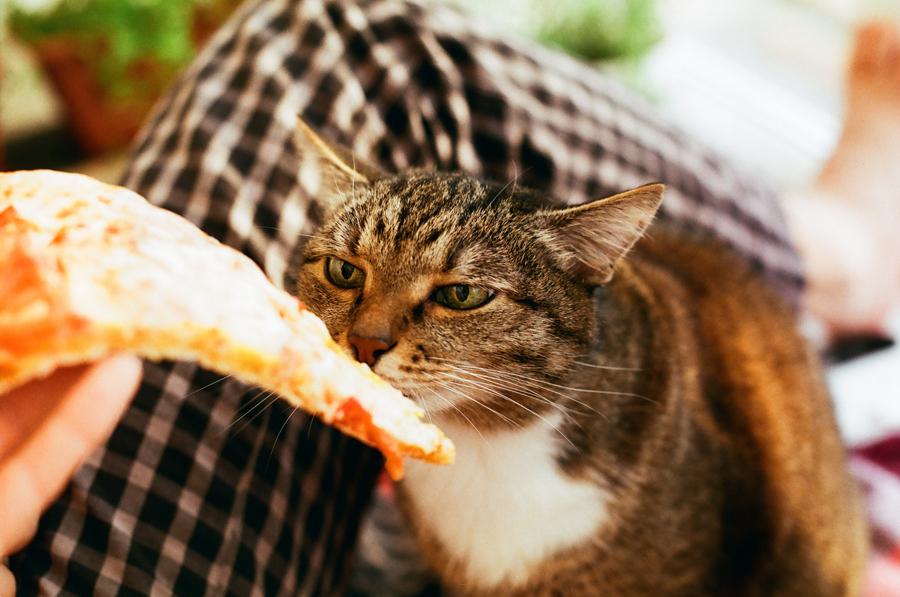 серый обычный кот и пицца